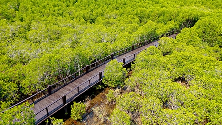 Nature learning path, made from wooden, and walk through Mangrove forest in Thailand