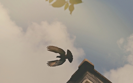 Pigeon flying on the tile roof with cloudy sky background.