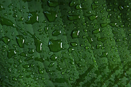 Close up water drop on tropical banana leaf texture, large palm foliage nature green background, beautiful on leaf in tropical forest, green background texture Imagens
