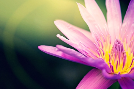 pink lotus in pond, blooming in the morning with ray of sun light, beautiful flower use for wallpaper background Stock Photo