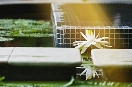 lotus white color in pond, blooming in the morning with ray of sun light, beautiful flower use for wallpaper background