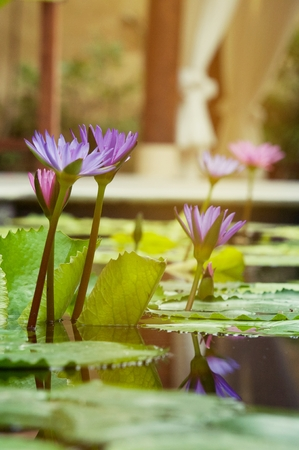 pink lotus in pond, blooming in the morning with ray of sun light, beautiful flower use for wallpaper background Imagens
