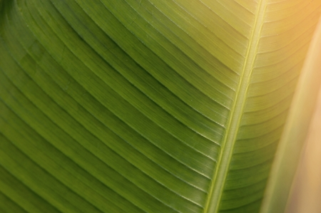 Green leaves background. Banana leaves in the morning. Tropical Plant, environment, photo concept nature and plant. Imagens