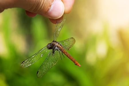 The man found dragonfly dead in the garden and he used his fingers are holding the dead dragonfly