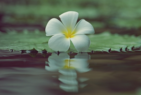 White Plumeria on lotus leaf, Leelawadee flower and its reflection on water,  beautiful background and copy space for greeting card