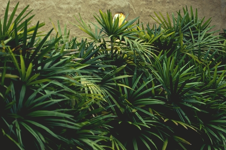 Green leaves background. Green leaves in the morning. Tropical plant, environment, photo concept nature and plant.