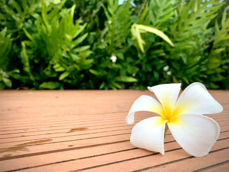 A Beautiful Plumeria white color on the ground with garden and blue sky background, flower on dropped on the ground, with copy space for text to create postcard. 写真素材