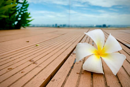 A Beautiful Plumeria white color on the ground with garden and blue sky background, flower on dropped on the ground, with copy space for text to create postcard.