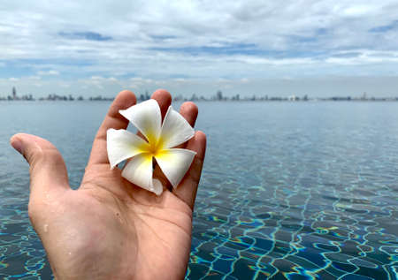 A Beautiful Plumeria white color in hand's man with swimming pool and cloudy sky background, flower on hand, with copy space for text to create postcard.