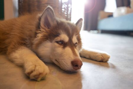 Picture of a chill dog is lying on the floor at home. Siberian Husky