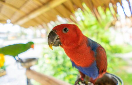 Red Parrot perched on the feeding plate