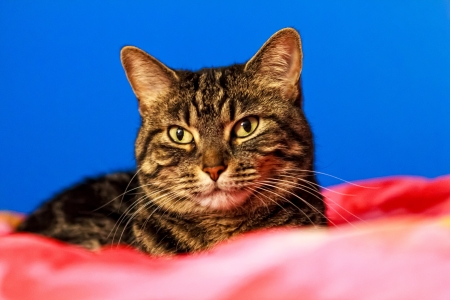 ble: Close up portrait of a Tabby cat lying on a pink bed with a bright ble backgrouind  Stock Photo