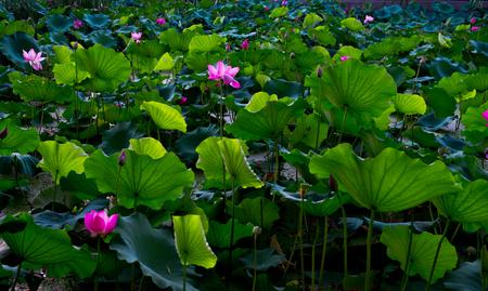 penetration: Hawthorn lotus and lotus leaf Stock Photo