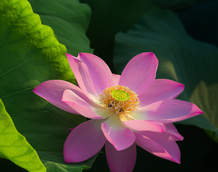 Lotus and lotus leaf