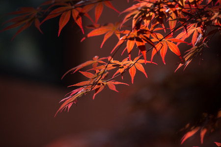 japanese maples: Maple
