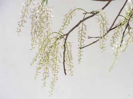 wisteria: Hatsuhana Wisteria