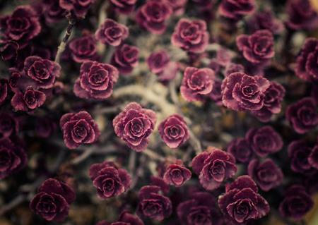 succulent: Purple succulent Stock Photo