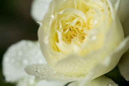 Close up of European rose