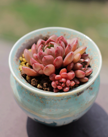 ruby red: Ruby red succulents in a pot