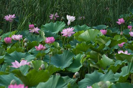 calamus: The Lotus pond thick