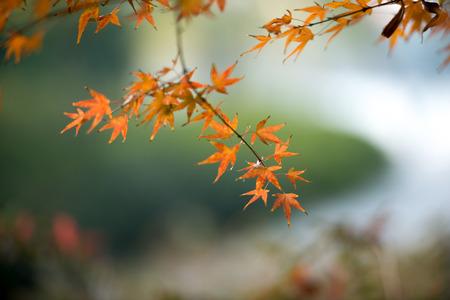 golden: Golden Maple Leaf