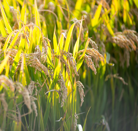 ripened: Field of ripened rice Stock Photo