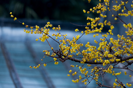 blooming wintersweet flowers 版權商用圖片