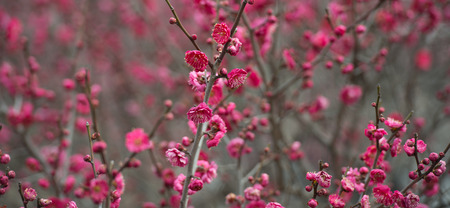 Spring blooming plum blossoms
