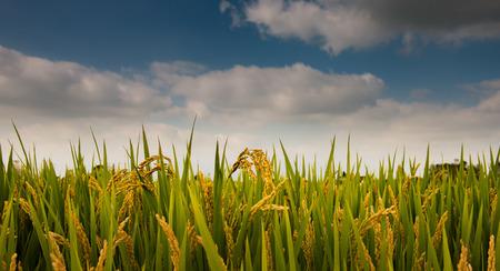Autumn rice harvest season Stock Photo