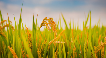 Autumn rice harvest season Stock fotó