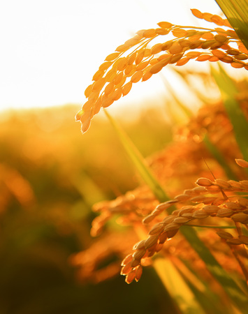 The backlight of the harvest of rice