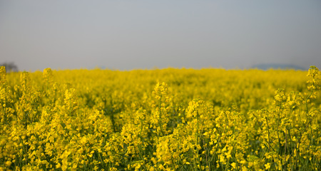 rapeseed flowers in the countryside 版權商用圖片