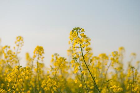 rapeseed flowers in the countryside 版權商用圖片