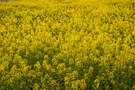 rapeseed flowers in the countryside Stock Photo