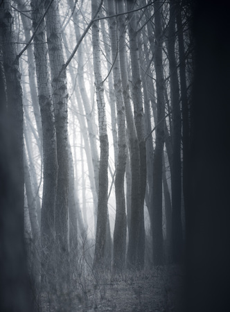 Poplar trees in the early morning mist