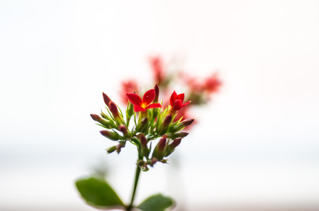 Small florets of red fleshy plants 版權商用圖片