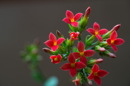 Small florets of red fleshy plants Stock Photo