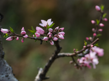 Peach blossom blooming in spring