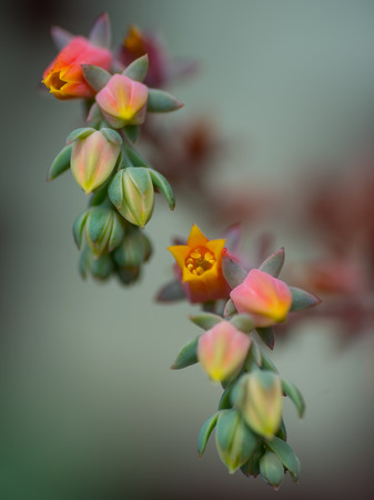 Fleshy flowers of a fleshy plant