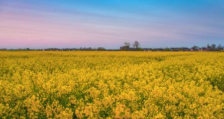 the countryside full of golden rape fields Stock Photo