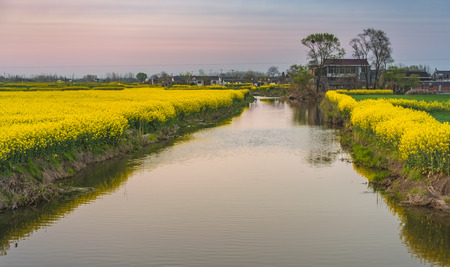the countryside full of golden rape fields 版權商用圖片