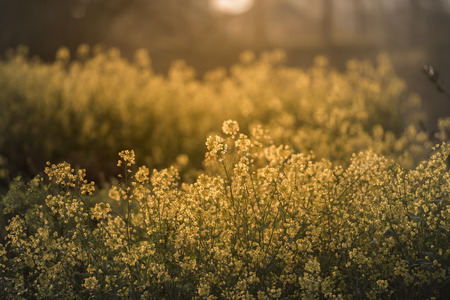 In the evening, the countryside was full of golden rape fields Stock Photo