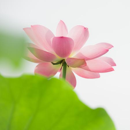 Lotus flower at pond