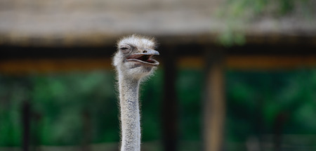 Smiling ostrich on African farm Stock Photo