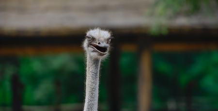 Smiling ostrich on African farm 版權商用圖片