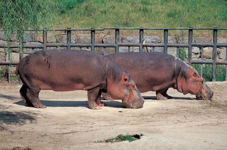 Hippo Standard-Bild