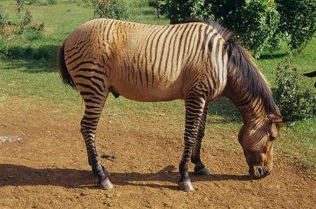 Mount Kenya Safari Club,Zebroid