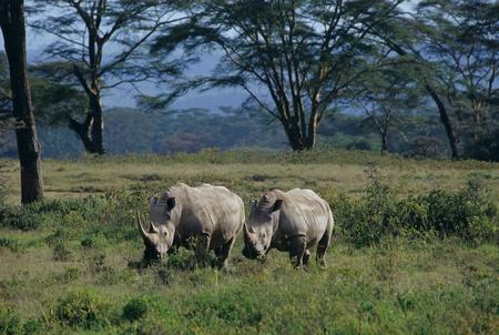Lake Nakuru,Rhinoceros,White