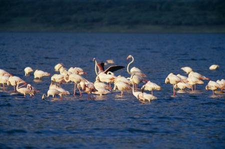 greater: Lake Bogoria, Flamingo,Greater