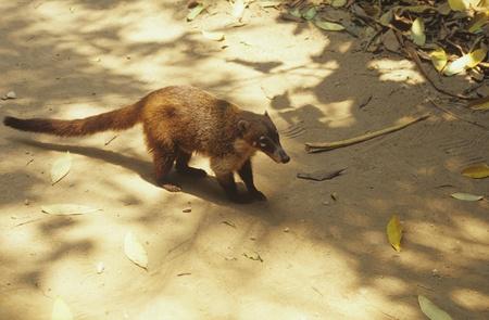 civet cat: Mexico,Villbermosa,La Venta Stock Photo